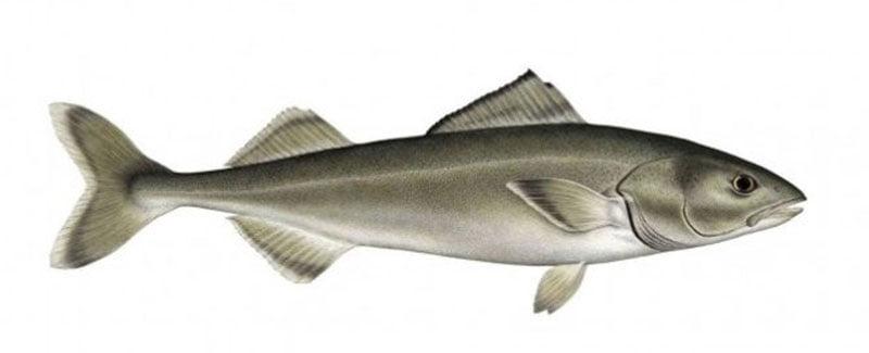 Bacalhau Negro Alaska seafood