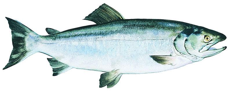 Salmão Keta Alaska seafood