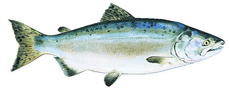 Salmão Rosado Alaska seafood