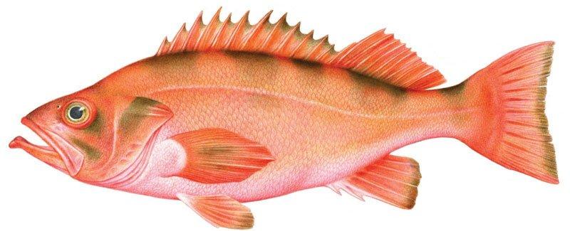 Rockfish Vermelho Alaska seafood