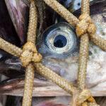 Gestão de pesca Alaska seafood