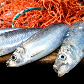 Peixe Branco do Alaska